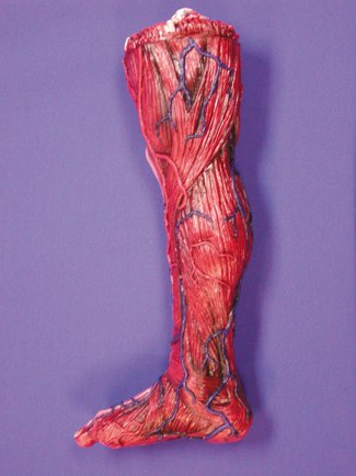 Featured Image for Skinned Right Leg