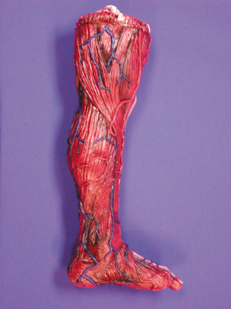 Featured Image for Skinned Left Leg